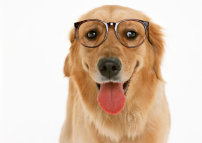 动物图片 狗狗 莱利/戴眼镜的金毛狗高清图片