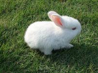 兔子/可爱的小白兔 兔子白色兔子