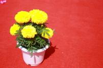 黄色 菊花/菊花 盆景花卉 黄色菊花
