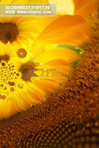 素材/向日葵